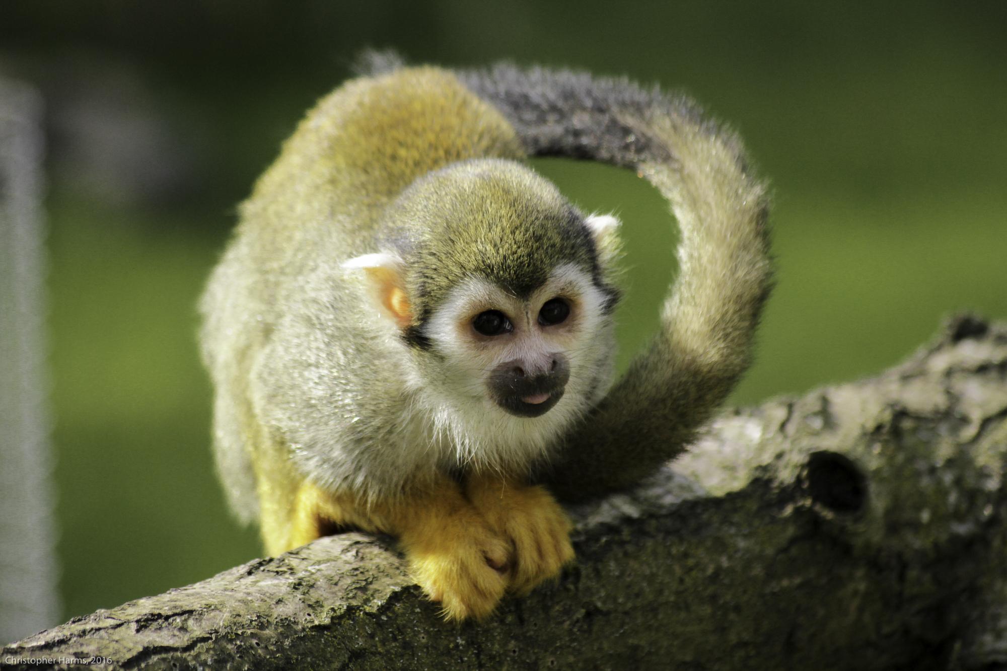 Squirrel Monkey / Totenkopfaffe